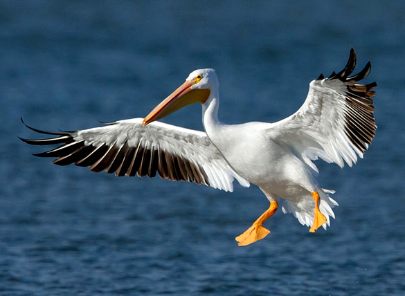 An American White Pelican. Paranomral researcher Chriss Pagani believes the object was most likely a pelican. (Credit: Manjith Kainickara/Wikimedia Commons)