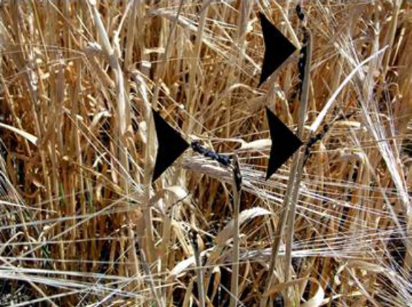 Blackened seed-heads in July 31, 2006 Armstrong, B.C. crop circle. Photo: Lynne