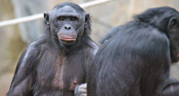 UFO News ~ 7/24/2015 ~ Elite wants to escape with Secret Space Fleet! and MORE Bonobos_2012-ftr