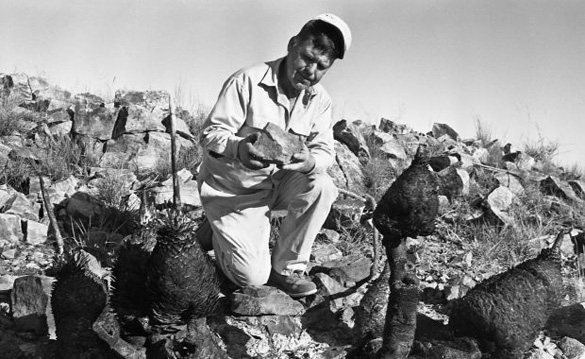 William Mayfield of the Gleeson Museum examining the burnt rocks and cacti at the UFO site. (Credit: Arizona Daily Star/Tucson Citizen/Dan Tortorell)