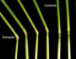 Elongated nodes and control plants (image credit: BLT Research)