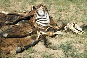 Mutilated male horse (credit: Chuck Zukowski)