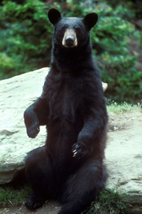 When the bears were first videotaped in the wild it appeared that they had no interest in the UFO moving overhead. Pictured: American black bear. (Credit: Wikimedia Commons)