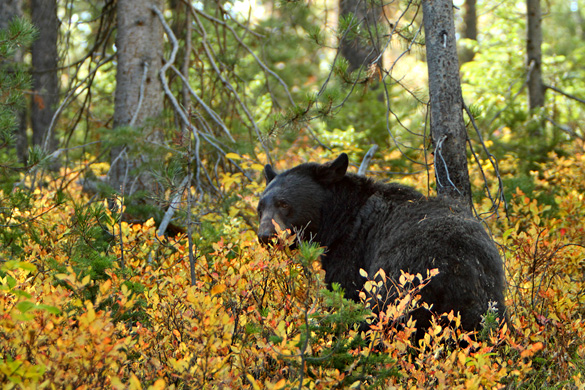 Researchers eventually learned that UFOs moving overhead increased the bear's heart rate. Pictured: American black bear. (Credit: Wikimedia Commons)