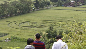 Crop circle in Indonesia (credit: Tribunnews.com / Hasan Sakri Ghazali)