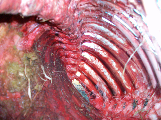 Inside the rib cage, all organs have been carefully removed. (image credit: Chuck Zukowski)