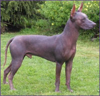 Xoloitzcuintli, a breed of Mexican hairless dog