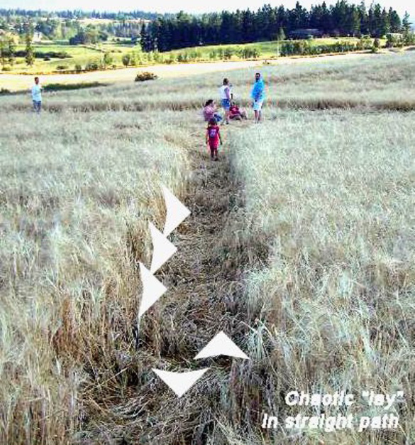 """2006 Armstrong, B.C. crop circle, photographed a week or more after discovery. Note the chaotic """"lay"""" and that plants are flattened across straight path. (Straight paths in crop circles are usually flattened up"""