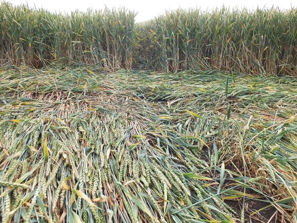 Boskovice crop circle