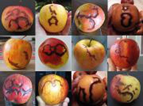 Some of the photos sent in by visitors to this July 21st circle who took apples  into it with them & whose apples later developed these markings.