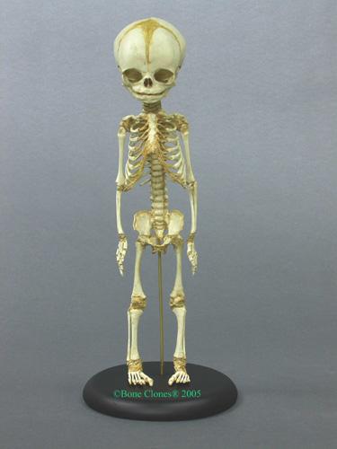 Human Fetal Skeleton