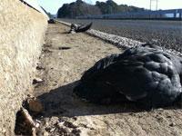 Dead birds in Texas (credit: KLTV)