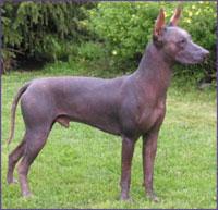 Xoloitzcuintli, a breed of Mexican hairless dog